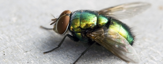 HOW TO TELL THE SEX OF A FLY